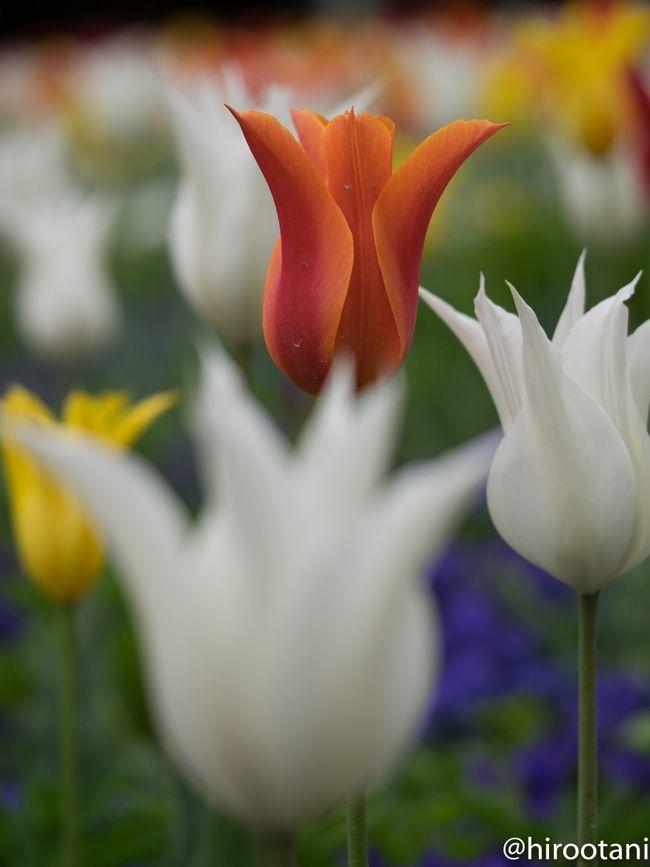 このところ、ずっと桜ばかり撮っていたので、今週は一休み。年間パスを購入したいつものなばなの里に行って来ました。今はチューリップ祭りの最中。例年、この時期に訪れています。<br /><br />毎年行っている割には、写真がうまくならないのが悩みの種です。<br />花の撮影は好きなのですが、花の種類についての知識が乏しく、しょうもないコメントしかできず、申し訳ありません。