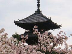 御室仁和寺の桜