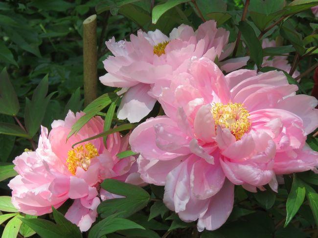 4月21日、午後0時半頃に多聞院に到着しました。 二週間前に山野草を見るために訪問していますが、今回は牡丹の花を見るのが主で訪問しました。 多聞院は関東地区では牡丹、寅祭、紅葉で有名なところです。 例年ならば五月連休前が見ごろなのですが、三月後半からの高温が影響していて桜等が約10日間早く咲いているので心配でしたがタイミングよく見ごろで良かったです。<br />ここでは牡丹園としては主な場所である事務所前の庭についてまとめて見ました。<br /><br /><br /><br /><br /><br />*写真は美しい牡丹