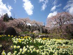 光前寺しだれ桜と高藤城址公園の桜