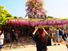 千財農園の 藤の花と  長安寺の しゃくなげ鑑賞 人気のお花見に行ってきました。
