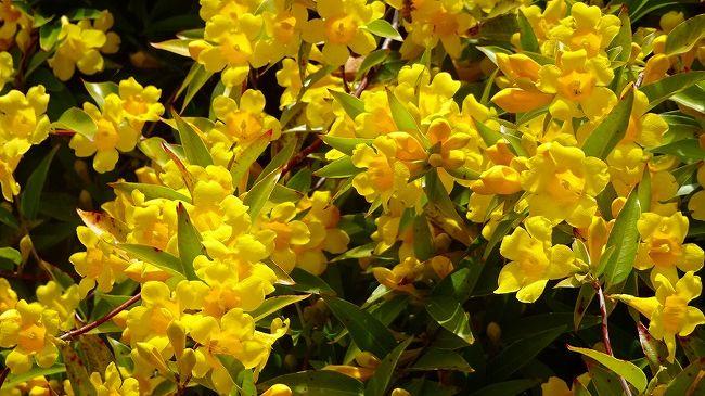 (7)からの続きです。<br /><br />温室棟の中のカフェで昼食を摂り、売店の中を抜けて退園しました。<br /><br />写真は、カロライナ・ジャスミンの花。