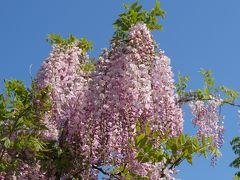 日比谷花壇 大船フラワーセンター (その2) 藤の花