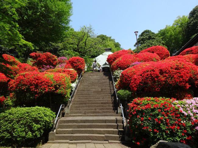 今年はツツジも例年より早く咲き始めました。<br />川崎市の「ツツジ寺」として知られている「神木山等覚院(しぼくさんとうがくいん)」には様々な種類のツツジが2000本ほど植えられています。例年なら4月中旬から5月上旬まで長く花を楽しめるのですが今年は一斉に開花し、多くの種類の花が同時に見頃になっていると聞き、見に行ってきました。<br />