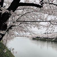 桜満開の雨の弘前公園からの星野リゾート青森屋