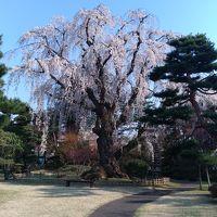 弘前さくらまつり 満開の桜 その2 藤田記念庭園 ついでに古遠部温泉