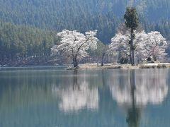 春を迎える雪解けの「中子の桜」2018(新潟県津南)