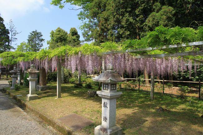 三大神社、志那神社、惣社神社の藤。<br /><br />草津市志那町にある三大神社、志那神社、惣社神社は境内に藤があることから、志那三郷の藤とも呼ばれています。<br />特に三大神社の藤は穂が地面に擦るほど長くなることから「砂擦りの藤」と呼ばれていますが、今回訪問した時にはまだそこまで長くはなっていませんでした。それでも十分見応えがあり綺麗に咲いていました。<br /><br />三大神社の樹齢約400年といわれている「砂擦りの藤」です、