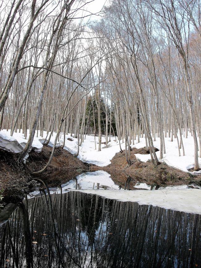 新潟県内3月半ばを過ぎ、雪解けも進み各地では春爛漫の季節を迎え始めています。雪解け最初に顔を出す雪割草をはじめ県内各地を散策してきました。<br /> 雪割草のメッカ柏崎市大崎地区、水芭蕉の五泉市、そして四季を通じて美しい十日町松之山の美人林、そして各地の桜とチューリップ。本当に新潟でしか味わえない春を楽しみました。