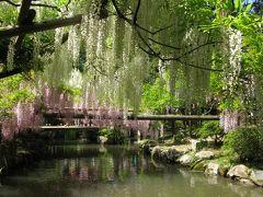 春日大社神苑 萬葉植物園 満開の藤。