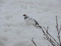 立山 雪の中の雷鳥と雪の大谷
