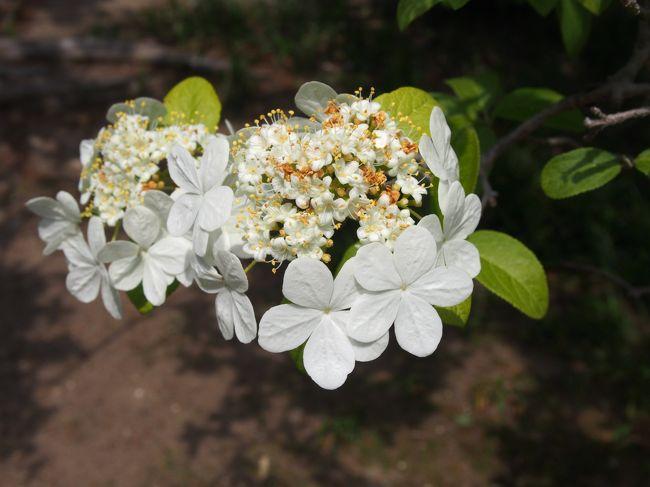 瓊花は鑑真大和上の故郷である中国揚州の花で、隋の皇帝・煬帝が大変気に入って、門外不出となった、ガクアジサイに似た白い花です。<br /><br />1963年、和上遷化1200年に、中国仏教会から唐招提寺に贈られました。<br /><br />四月下旬から五月上旬にかけて、御影堂供華園でその瓊花の特別公開が行われています。<br /><br />良い天気のこの日、第二阪奈道路を通って、唐招提寺に向かいます。<br /><br />モノトーンのイメージのある唐招提寺、境内には瓊花ばかりではなく、菖蒲、おおでまり、ツツジなどが咲き、そこに色を添えています。<br /><br />また花ばかりではなく、この時期緑もきれいで、枝ぶりの良い樹木も多く、こちらも見ごたえがあります。<br /><br />お堂、仏像をあわせて草木花もと、唐招提寺良いですね。<br /><br />【写真は、瓊花です】