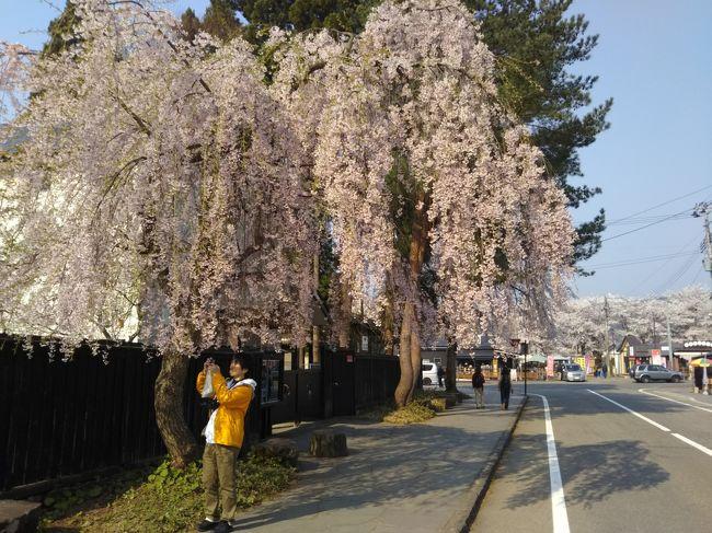 有名な角館の桜を見てきました。桧木内側堤防沿いと、武家屋敷を観光ランで巡りたいと思います。