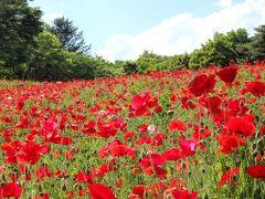 真っ赤なシャーレーポピーが早くも見頃始め♪―GW・新緑の昭和記念公園