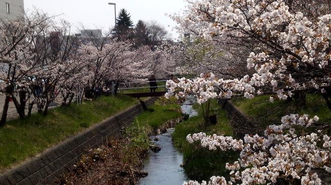 人混みを避けて初めて寒地土木研究所の桜を見に行くと、意外に人が多い。穴場とテレビに出ていたので知ったのですが、皆さんご存知でしたね。平日なら食堂が、昼時までやっているようです。あと、開放は、今年は4月26日から5月2日まででした。