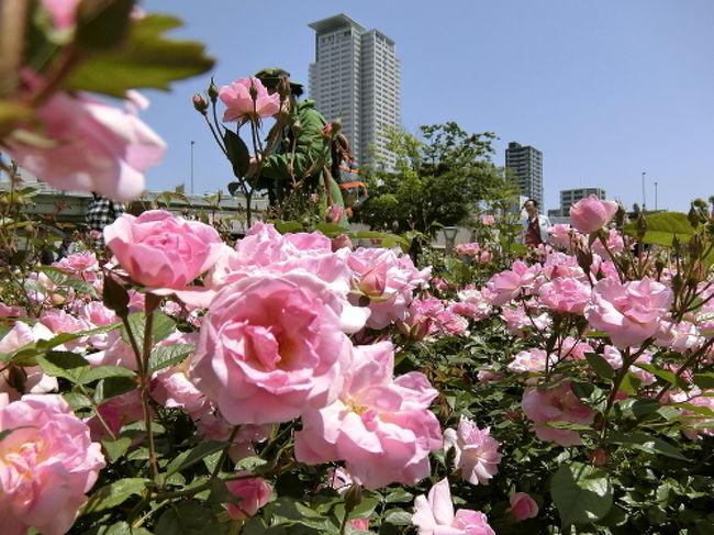 2018年5月5日。<br />桜の開花が早かった今年。<br />バラの開花も早いことを期待して、<br />中之島公園バラ園を訪れました。