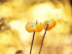 甘酸っぱい 清楚 そんな言葉が似合う花 ミツマタの花 (焼森山ミツマタ群生地)