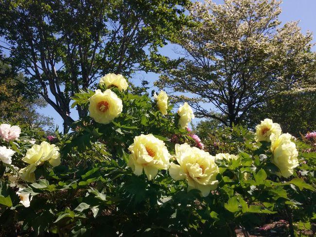 今年は花の見ごろが早いですね。いつもはGWに満開を迎える藤の花。早めに見に行ってみました。丁度見頃を迎え、甘い香りも楽しめました。<br />ぼたん園は見頃でした。