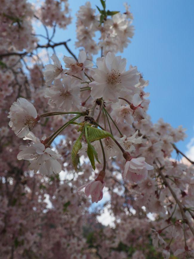 山梨県南巨摩郡身延町身延3567<br />2018.4.9<br /><br />そうだ! こちらの有名なしだれ桜を拝見しよう!と 行ってきました。<br /><br />が・・ 今年は開花が早く あのしだれ桜の時期は終わってしまっていました・・・<br /><br />本山である久遠寺さんには 日蓮上人の霊墓・草庵が 残されています。<br /><br />鎌倉時代<br />疫病や天災が相次ぐ末法の世、「法華経」をもってすべての人々を救おうとした日蓮聖人は、<br />三度にわたり幕府に諫言(かんげん)を行いましたが、いずれも受け入れられることは無かったそう。<br /><br />戦国時代<br />武田氏・徳川家の崇拝を受けて栄え、<br />1706(宝永3)年には、皇室勅願所ともなっているんですって!<br /><br /><br />