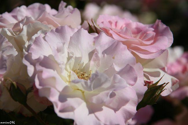 リニューアルされた大船フラワーセンターへ春バラを楽しみに出掛けました。<br />約370品種、1200株のバラが植栽されていて、バラ園全体がバラの香りに包まれていました。<br />例年、見ごろは5月中旬から7月上旬、10月中旬から11月中旬と言われますが、今年はバラの花も早く見頃を迎えた感じです。<br />宜しければご覧ください。