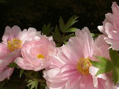 牡丹をみにいこう ~上野東照宮とぼたん苑