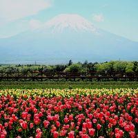 富士山ドライブ 富士芝桜まつり 花の都公園