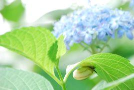 ひとりお花見部 大和郡山の矢田寺 と 京都平安神宮で 紫陽花のお花見