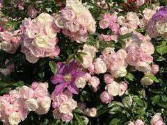 満開の薔薇を見に横浜・山下公園へふらり