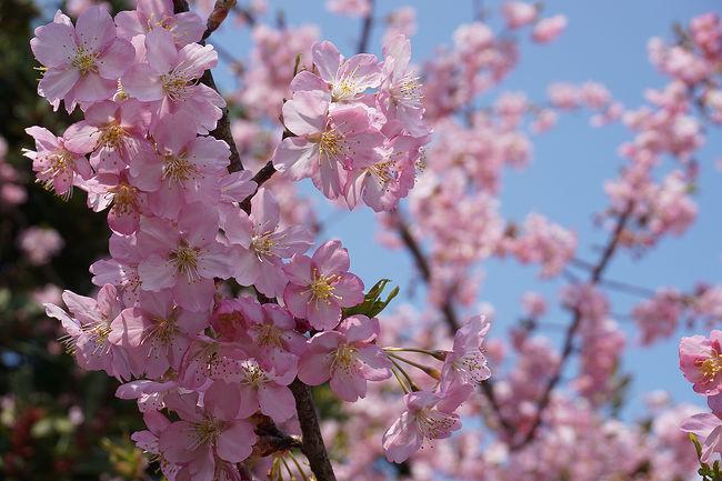 京都で咲く河津桜。<br />春はもう来てます。<br />画像は、河津桜@淀水路です。<br /><br />過去の京都・京都市伏見区散歩記~<br /><br />関西散歩記~2017-2 京都・京都市伏見区編~<br />https://4travel.jp/travelogue/11273413<br /><br />関西散歩記~2017 京都・京都市伏見区編~<br />http://4travel.jp/travelogue/11219453<br /><br />関西散歩記~2014 京都・京都市伏見区編~<br />http://4travel.jp/travelogue/10909994<br /><br />京都まとめ旅行記<br /><br />My Favorite 京都 VOL.3<br />https://4travel.jp/travelogue/11275410<br /><br />My Favorite 京都 VOL.2<br />http://4travel.jp/travelogue/11120777<br /><br />My Favorite 京都 VOL.1<br />http://4travel.jp/travelogue/10945390