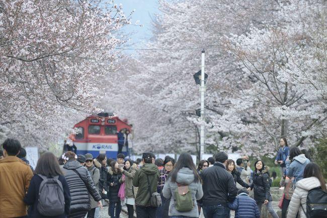 春と言えば桜!今日は慶尚南道の有名な桜スポットをご紹介します~!<br /><br /> <br /><br />「落花流水」という言葉は、韓国で晩春の美しい風情を描写するときに使います。<br /><br />韓国の慶尚南道・昌原(チャンウォン/??)にはこの言葉にピッタリの名所があります!<br /><br />昌原市・鎮海(チネ/??)の中心部を横切る「余佐川(ヨジャチョン/???)」の両側には桜並木があり、落下流水の美しさを満喫していただける名所です。