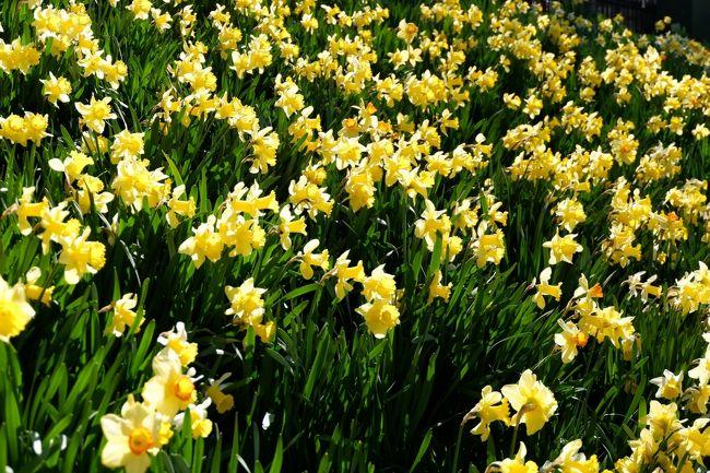 昨秋、バース、ロンドン旅行したばかりながら、タイムセールの格安チケット入手でき、再度ふらりお気楽ひとり旅に。<br />目当てのひとつにはイギリスの春の花のお花見も。<br />気候のいい季節、緑いっぱいフットパス、街中ぶらぶら散策満喫しました。<br /><br />①エジンバラからイギリス入国。<br />エジンバラは黄色のハリエニシダとラッパ水仙がそこかしこに。<br /><br />**以下は、毎回同じ内容です↓↓↓↓↓**********************<br />■クレジット請求時レート(クレジット会社手数料込)£1≒¥151~155、100P(ペンス)=£1<br />4/18    カタール航空 成田→ドーハ<br />4/19    カタール航空 ドーハ→エジンバラ<br />~4/23   エジンバラ滞在<br />~5/09   ロンドン滞在<br />5/09    カタール航空 ヒースロー→ドーハ<br />5/10    カタール航空 ドーハ→成田<br /><br />ところで、今回持参の£現金は前回旅行残金£61.18のみ。<br />「キャッシュレスどこまで可能!?」を試してみました。<br />US$やユーロに比べ£は日本での両替手数料不利な為、現地でキャッシングと思いつつも結局3週間の現金使用は約£50でした。<br />45Pの水もクレジット払しつつ、割り勘場面ない一人旅だから実現したのかもです。<br /><br />ただ、今回厄介だったのは、所持金の内の£10紙幣が前回旅行直後の新紙幣移行で3/1付既に使用不可になってること。<br />早々にエジンバラで旧→新へ両替したく、イギリスの「日本銀行」的存在のバンクオブイングランドHP見るもエジンバラに支店がない!?<br />スコットランドの首都なのに?むしろ、だからこそ?<br />そこで同じような質問↓↓を旅サイトにしてるアメリカ在住Bさんみつけたのですが…<br />「This may be a silly question, but…」と前置きのうえ^^;「スコットランドにバンクオブイングランドの支店ないですか?」と。<br />結果は…ハイsillyでした^^;<br />おとなしくロンドン行ってからBank駅の本丸で両替しました(勿論手数料無その場で両替可)<br />郵便局で可とのネット口コミあるも(たまたまかもですが)私は断られました。<br />因みに£5£10に続き次は二年後£20アダム・スミスの番です。<br />訪英予定なければ、移行後、メガバンク両替窓口でも新紙幣又は日本円へ両替可能のようですが、勿論手数料かかり、可能期限もあるようです。(みずほ回答)<br />「当面渡航予定ないけど円高の内に両替しとこ」は「自販機以外は未だ聖徳太子様受入れ可」の悠長な日本の貨幣事情とは異なる外国ではたとえ先進国であろうと要注意かと。<br />加えて、バンクオブイングランドで両替待ちの時きいた話では、新旧見分けつきにくい外国人観光客に渡されたおつりが旧貨幣で後で気づくこともあるそう...レアケースと思いますが、移行後間もない期間は要注意かもです。<br /><br />新紙幣移行後猶予たったの半年、コインも一部移行、同国なのにイングランドでは敬遠のスコットランド独自貨幣、次回訪英予定あるも素人だからブリグジットでレート変動どうなるか分からない…となれば…<br />円からの両替は最小限、残さず使い切り、極力クレジットカード払が賢いのを学習しました。