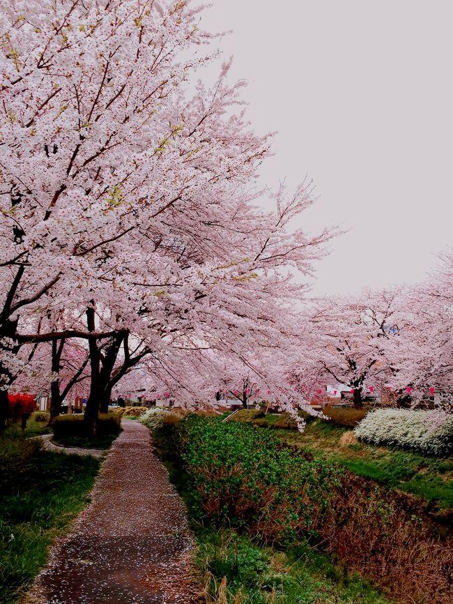 息子が上越に住むようになって初めてこんなに素晴らしい街があることを知りました。<br />高田公園のお花見も有名ですが、近くの青田川沿いの桜もかなり見応えがあって大好きです。