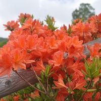梅雨時期の花 赤城のレンゲツツジ