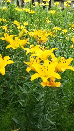 掛川城のユリ開花