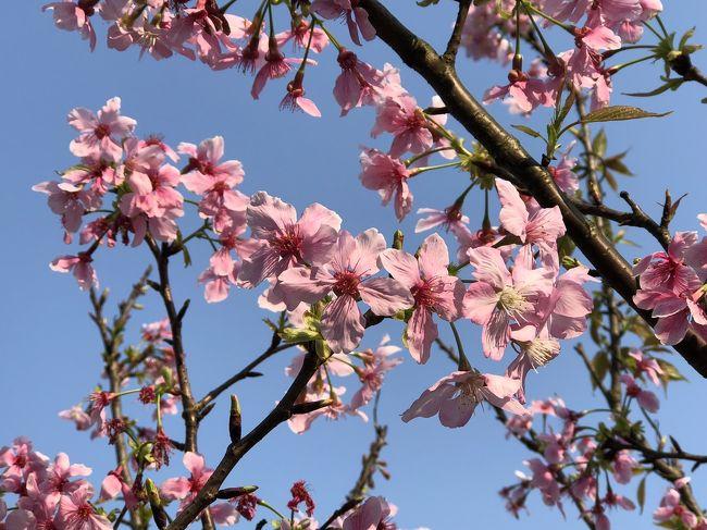 3月、初夏の陽気の台北でお花見して来ました。<br /><br />3月の台湾旅行記、嘉義編がやっと終わりました。<br />ラスト台北編は今日やろう今夜こそと思いつつ、<br />とうとう6月になってしまいました。。。<br />ワールドカップも始まってしまったし。。。<br />もう梅雨だけど、台北でのちょっとしたお花見記です。<br /><br />3月12日(月)嘉義から新幹線で台北に戻りました。<br />        台北駅前、大名商務會館チェックイン。<br />3月13日(火)樂活公園でお花見。<br />3月14日(水)帰国日。