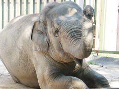 初夏の神戸&鯖江へレッサーパンダの子供たちの成長とグルメを楽しみに(3)王子動物園(後編)フラミンゴのひなとシロフクロウに意外に釘付け&アジアゾウのトレーニングとコツメカワウソの食事を見学できた&ホッキョクグマのみゆきさんやヒグマたちとビントロングや埼玉Zoo出身のマヌルネコのイーリスにも会えたクマと中型猛獣エリア~ネコ科の猛獣やカバやカピバラの方までは回れず
