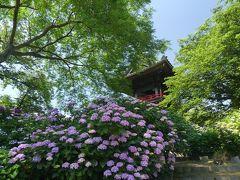 能護寺のアジサイ_2018_開花が進んでいます。見頃間近です。(埼玉県・熊谷市)