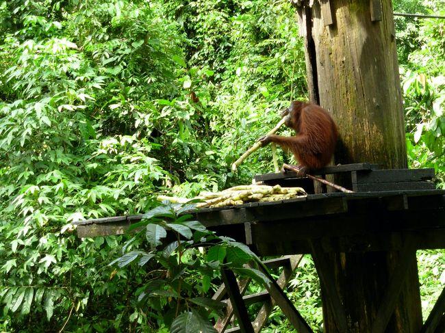 ボルネオ島駆け足の旅 写真の整理をしているうち思い出深い写真が見つかり投稿してみたくなりました。国立公園の多くは専門のガイドさん同行が条件でしたので自由気ままな散策は出来ずまた「野生の森の住人さん」や象さんたちにも出会えず少し残念、セピロック オランウ―タン自然保護区ではかわいい住人さんたち(子供のオランウータン)しか見られませんでした。コキタナバルからラフテイングにも参加し大変楽しく過ごしました。KKでの観光詳細は次回にUPします。当時の詳しい事はほとんど忘れており写真説明も記憶違いな部分もあるかと思います。