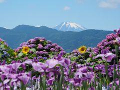 開成あじさいの里2018   絶景♪花と富士のカルテット