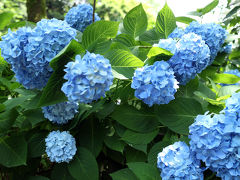 北鎌倉から鎌倉 紫陽花を見ながらお寺巡り(人多すぎ!)