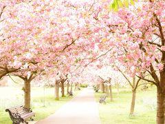 ③エジンバラとロンドン花も団子も一人旅 グリニッジ桜と郊外ブルーベル