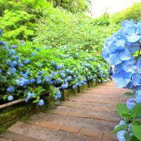 平日なのに長蛇の列。あじさいブルーに染まる鎌倉&猫