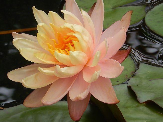 6月12日、午後2時過ぎに池袋の西武百貨店9階にある食と緑の空中庭園の「睡蓮の庭」を久しぶりに訪問しました。 美しい睡蓮の花及びアジサイやユリの花等が見られました。<br /><br /><br /><br /><br />*写真は美しい睡蓮の花「コロラド」
