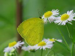 森のさんぽ道で見られた蝶⑨