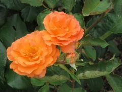2018梅雨、鶴舞公園の花(2/8):6月10日(2):バラ園、オクラホマ、チアガール、ライブラリアン、熱情、ローラ