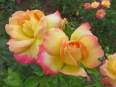 2018梅雨、鶴舞公園の花(3/8):6月10日(3):バラ園、ノヴァーリス、ジャルダン・ドゥ・フランス、乾杯、チャールストン