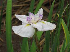 2018梅雨、鶴舞公園の花(5/8):6月10日(5):花菖蒲園、竜ヶ池 、緑化センター、フイリゲットウ(斑入り月桃)