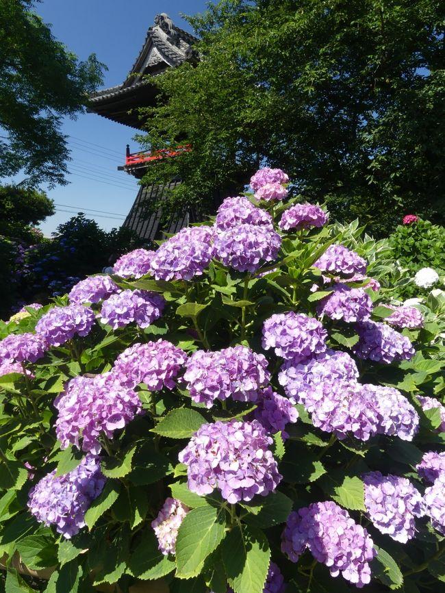 能護寺のアジサイ_2018_ほぼ満開、見頃です。(埼玉県・熊谷市)