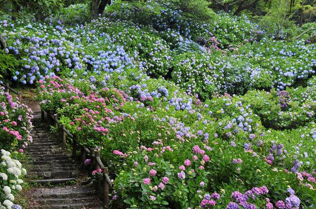 梅雨と言えば紫陽花。<br />そして、大好きな花の一つが、その紫陽花だ。<br />今年はどこで紫陽花を観ようかと考える。<br />そして思い付いたのが伊豆下田。<br />7年前に訪れた時に出会った素晴らしい情景が思い出されたからだ。<br />その見事な紫陽花の風景を再び。