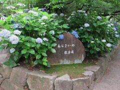 2018梅雨、鶴舞公園の花(7/8):6月10日(7):緑化センター、アーティチョーク、ベゴニア、スモークツリー、あじさいの散歩道